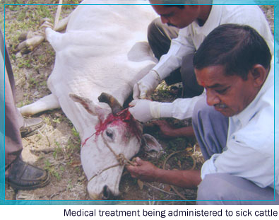 Medical treatment being administered to sick cattle